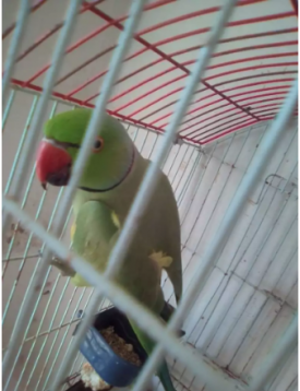 Green Talking Parrot