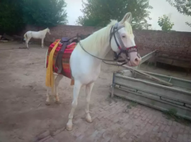 Full trained Nukri chapydar mare for sale